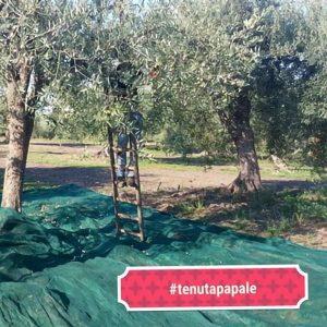 Olivenöl Ernte und Herstellung_b