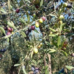 Olivenöl Ernte und Herstellung_g