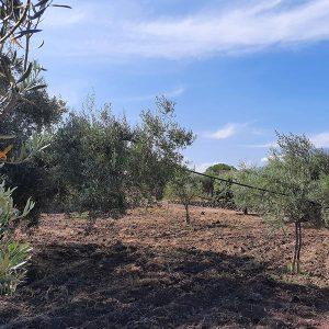 Olivenöl Ernte und Herstellung_i