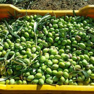 Olivenöl Ernte und Herstellung_l