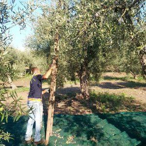 Olivenöl Ernte und Herstellung_m