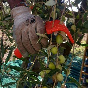 Olivenöl Ernte und Herstellung_n